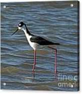 Black Necked Stilt Acrylic Print