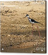 Black-necked Stilt Acrylic Print by Robert Bales