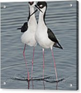 Black-necked Stilts Acrylic Print