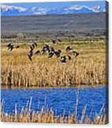 Black-necked Stilts In Flight Acrylic Print