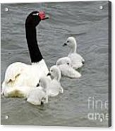 Black Necked Swan Patagonia  Acrylic Print