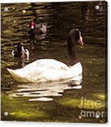 Black-necked Swan Acrylic Print