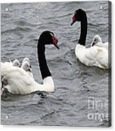 Black Necked Swans Patagonia 1 Acrylic Print