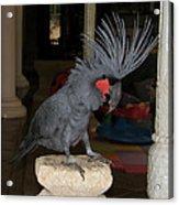 Black Palm Cockatoo Acrylic Print