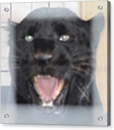 Black Panther Caged And Angry Acrylic Print