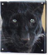 Black Panther Waiting Acrylic Print by John Telfer