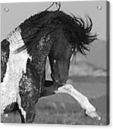 Black Pinto Stallion Strikes Out Acrylic Print