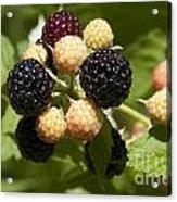 Black Raspberries Acrylic Print