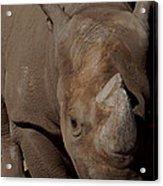 Black Rhino Acrylic Print