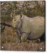 Black Rhino Tanzania Acrylic Print