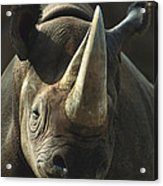 Black Rhinoceros Portrait Acrylic Print