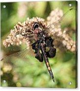 Black Saddlebags Dragonfly At Rest Acrylic Print