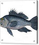 Black Sea Bass 3 Acrylic Print