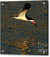 Black Skimmer Reflections Acrylic Print