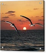 Black Skimmers At Sunset Acrylic Print
