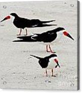 Black Skimmers  Acrylic Print