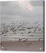 Black Skimmers On The Beach At Dawn Acrylic Print