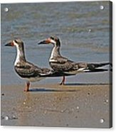 Black Skimmers On The Beach Acrylic Print