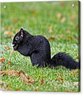 Black Squirrel Acrylic Print
