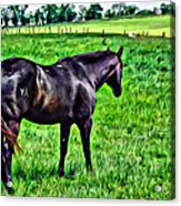Black Stallion In Pasture Acrylic Print