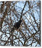 Black  Starling Acrylic Print