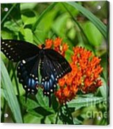Black Swallow Tail On Beautiful Orange Wildlflower Acrylic Print