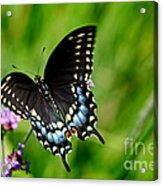 Black Swallowtail Butterfly In Garden Acrylic Print