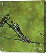 Black Swallowtail Caterpillar Acrylic Print