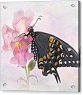 Black Swallowtail Iv Acrylic Print