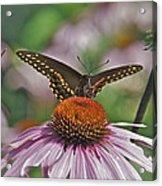 Black Swallowtail On Cone Flower Acrylic Print