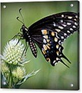Black Swallowtail Vignette Acrylic Print