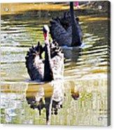 Black Swan 1 Acrylic Print