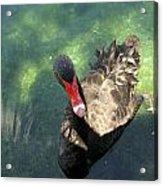 Black Swan 3 Acrylic Print