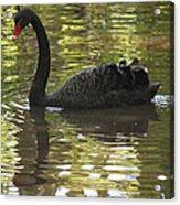 Black Swan Series II Acrylic Print