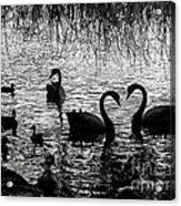 Black Swan Silhouette Acrylic Print