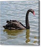 Black Swan Square Acrylic Print