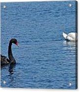 Black Swan White Swan Acrylic Print