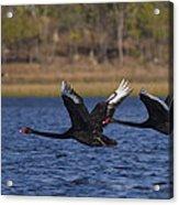 Black Swans In Flight Acrylic Print