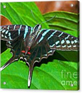 Black Swordtail Butterfly Acrylic Print