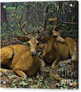 Black Tail Deer Acrylic Print
