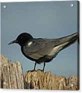 Black Tern Acrylic Print