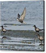 Black Terns Acrylic Print