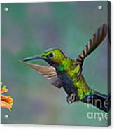 Black-throated Brilliant Acrylic Print