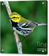 Black-throated Green Warbler, Male Acrylic Print