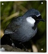 Black-throated Laughing Thrush Acrylic Print by Gerald Murray Photography