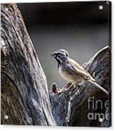 Black Throated Sparrow Acrylic Print