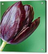 Black Tuip Acrylic Print