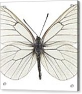 Black-veined White Butterfly Acrylic Print