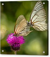 Black-veined White Acrylic Print