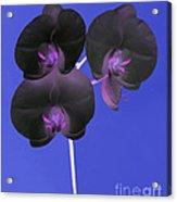 Black Velvet Orchid Acrylic Print